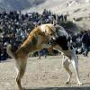 Собака-гладиатор