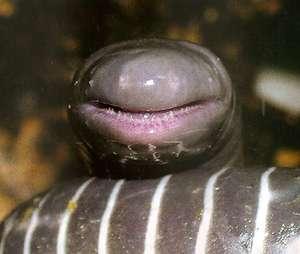 Кольчатая червяга