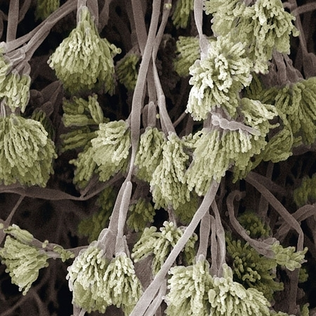 Грибок пеницеллина под микроскопом